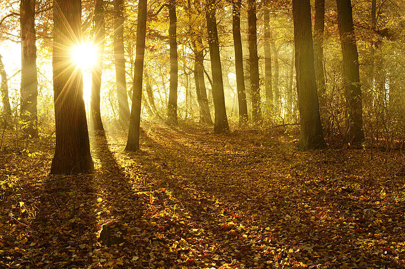 森林,秋天,阳光光束,雾,黎明,金色,橡树,树林,太阳,橡树林地