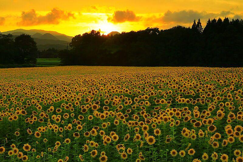 岩手县,向日葵,田地,户外,黄昏,夏天,黄色,橙色,自然,风景