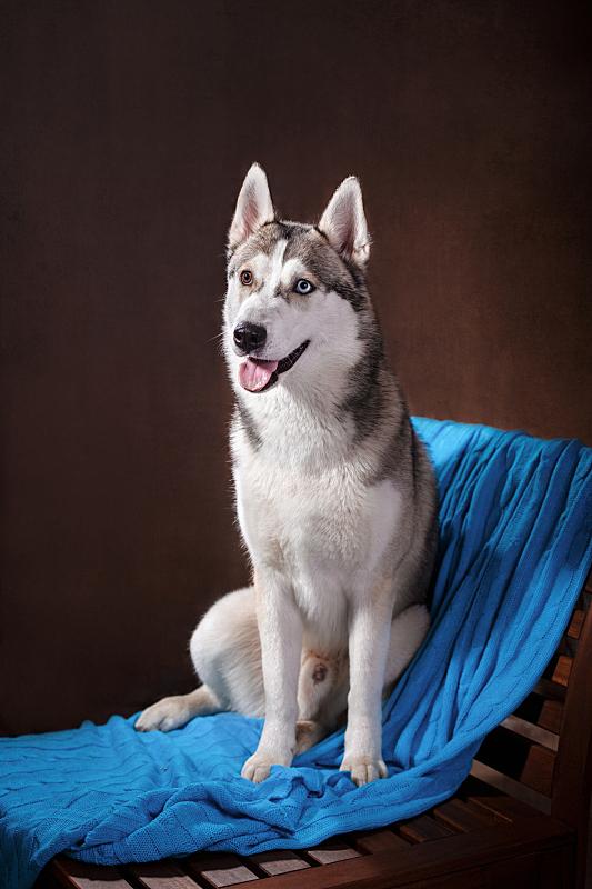 室内,雪橇犬,垂直画幅,美,幸福,纯种犬,影棚拍摄,犬科的,宠物,住宅内部