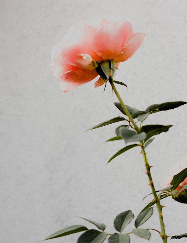 玫瑰,粉色,轻的,一个物体,柔焦,自然,垂直画幅,植物,无人,2015年