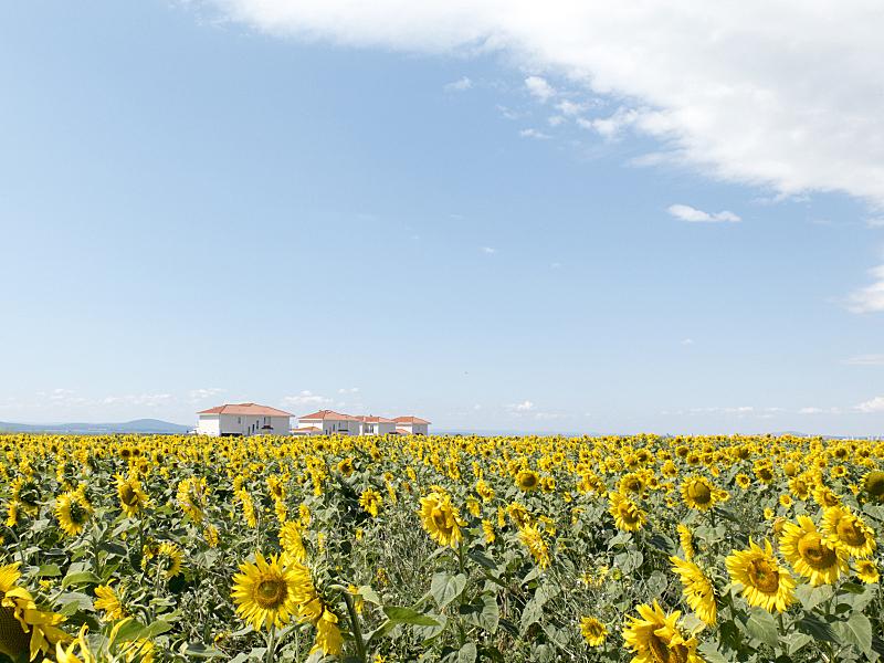 向日葵,背景,田地,房屋,自然,草地,水平画幅,无人,蓝色,有机食品