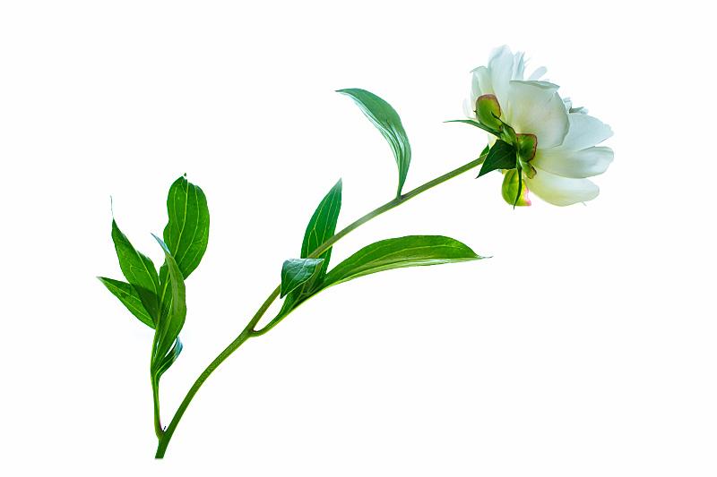 牡丹,背景分离,边框,浪漫,小的,大丽花属,春天,植物,夏天,植物茎
