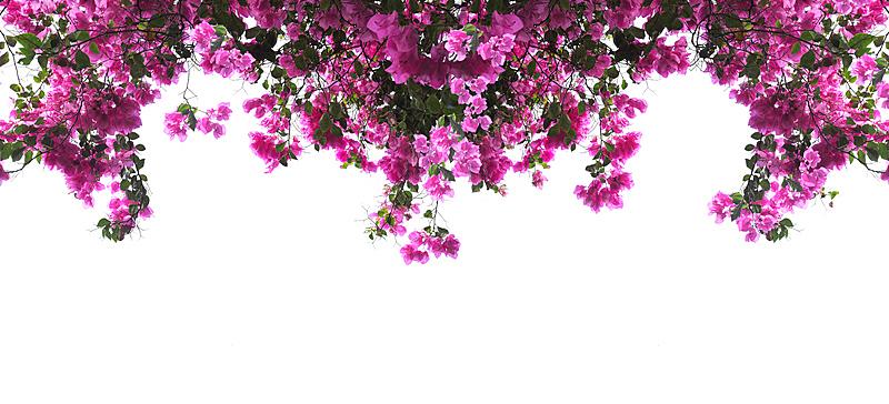 三角梅,粉色,边框,水平画幅,无人,spa美容,夏天,户外,泰国,模板