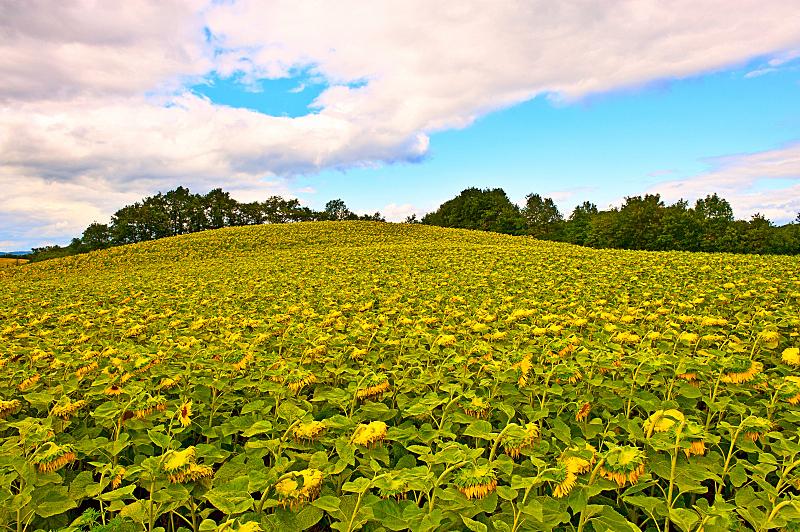 向日葵,天空,水平画幅,山,无人,夏天,户外,农作物,田地,植物