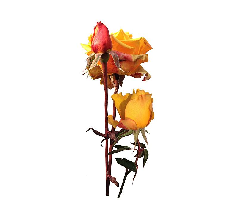 玫瑰,黄色,水平画幅,英格兰,碾碎了的,开胃品,仅一朵花,一见钟情,记忆,深情的