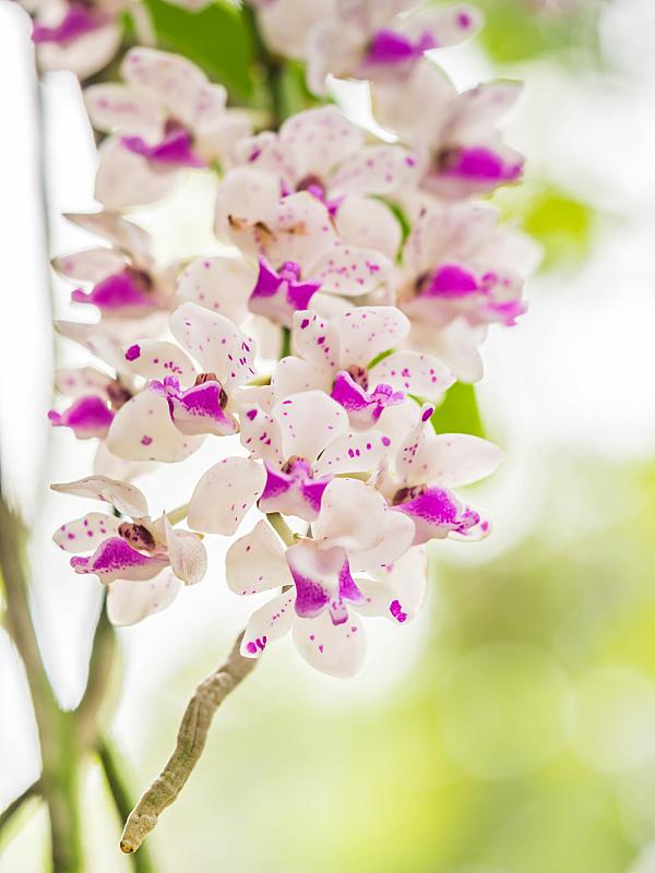 兰花,白色,园林,粉色,公园,自然美,垂直画幅,美,形状