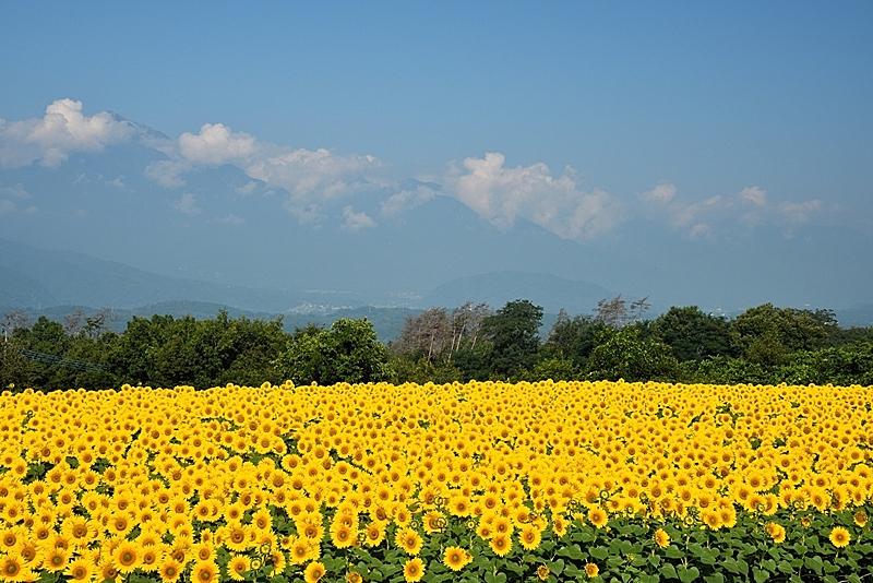 向日葵,天空,水平画幅,枝繁叶茂,无人,夏天,户外,著名自然景观,植物,著名景点