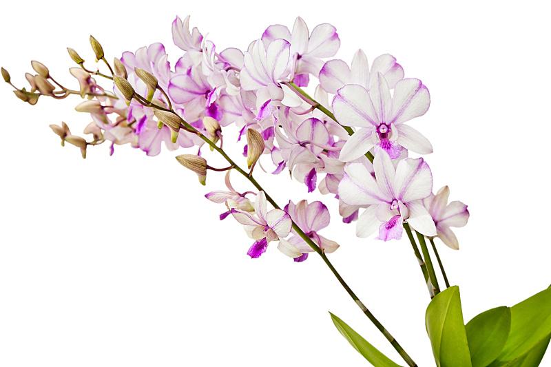 石斛,兰花,转基因,水平画幅,无人,组物体,特写,泰国,花束,热带气候