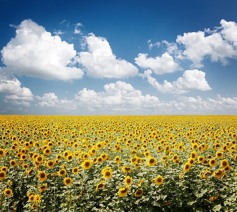 田地,向日葵,天空,水平画幅,无人,夏天,户外,彩色图片,清新