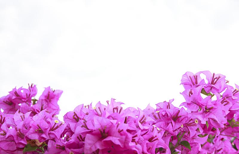 粉色,三角梅,白色,仅一朵花,分离着色,自然,有蔓植物,水平画幅,攀缘植物,无人