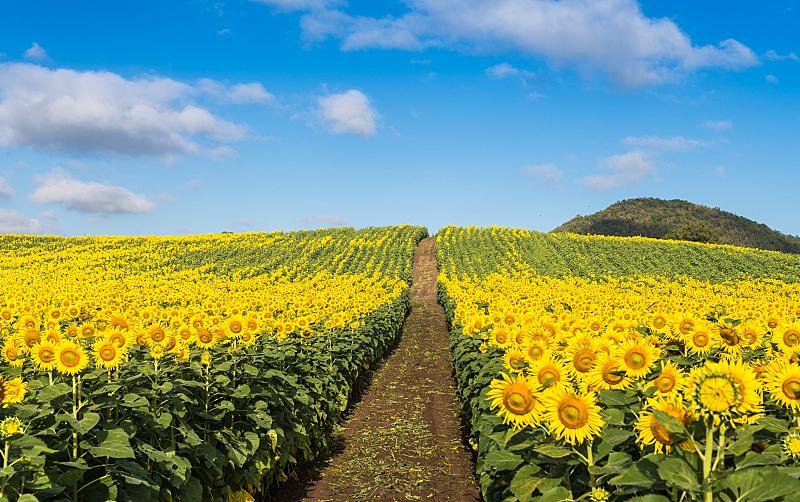 向日葵,田地,自然,褐色,水平画幅,无人,蓝色,夏天,户外,植物