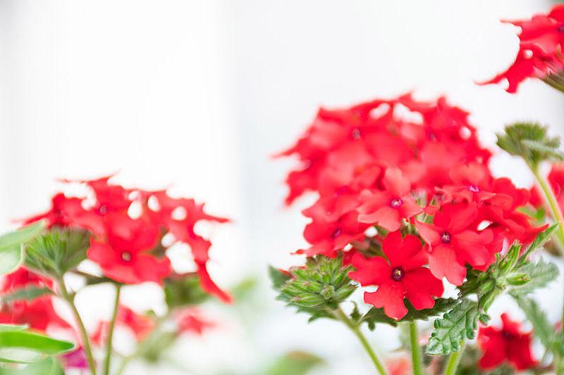 柔焦,巴西马鞭草属植物,自然美,红色,美,水平画幅,无人,园艺,夏天,户外