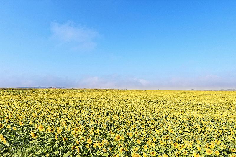 向日葵,田地,自然,天空,美,草地,水平画幅,枝繁叶茂,云,无人