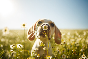 狗,杂种狗,小狗,春天,宠物,甘菊,可爱的,短发,巴西,动物