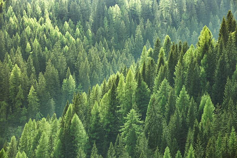 松木,云杉,杉树,森林,绿色,生物质,阔叶树,伐木搬运业,树梢