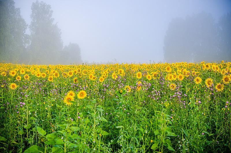 夏天,花朵,向日葵,田地,尼斯,热,户外,季节,明亮,黄色