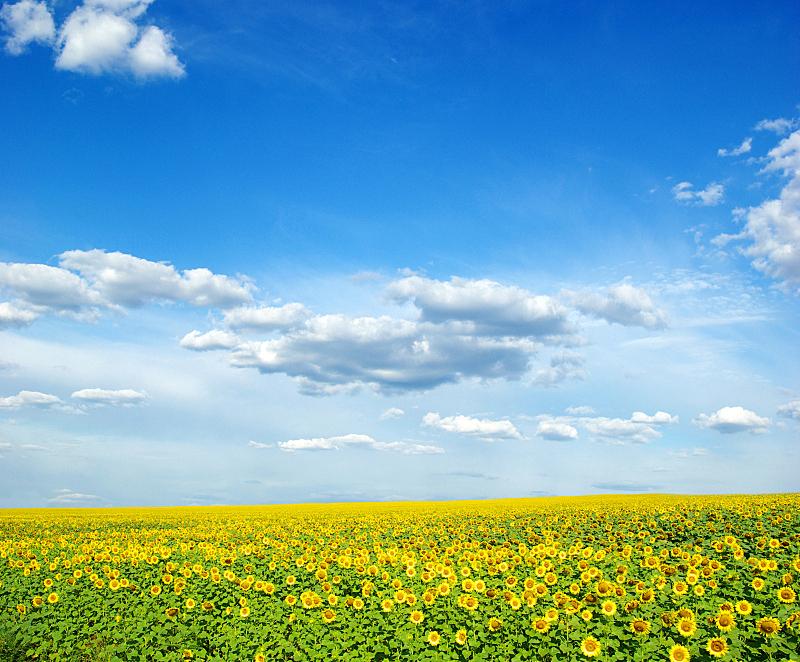 蓝色,向日葵,天空,田地,日光,自然,圆形,水平画幅,无人,有机食品