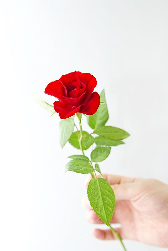 红色,玫瑰,垂直画幅,美,情人节,生日,仅男人,仅成年人,白色,植物