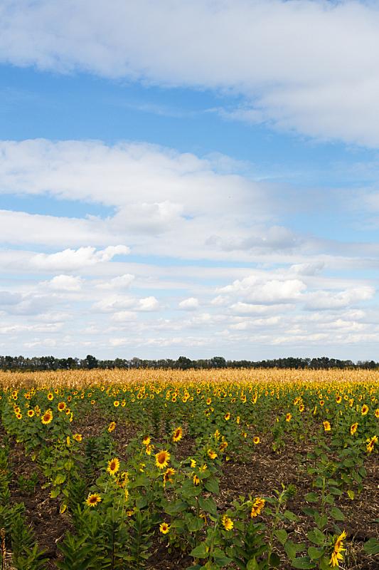 天空,田地,蓝色,向日葵,在下面,垂直画幅,无人,夏天,户外,特写