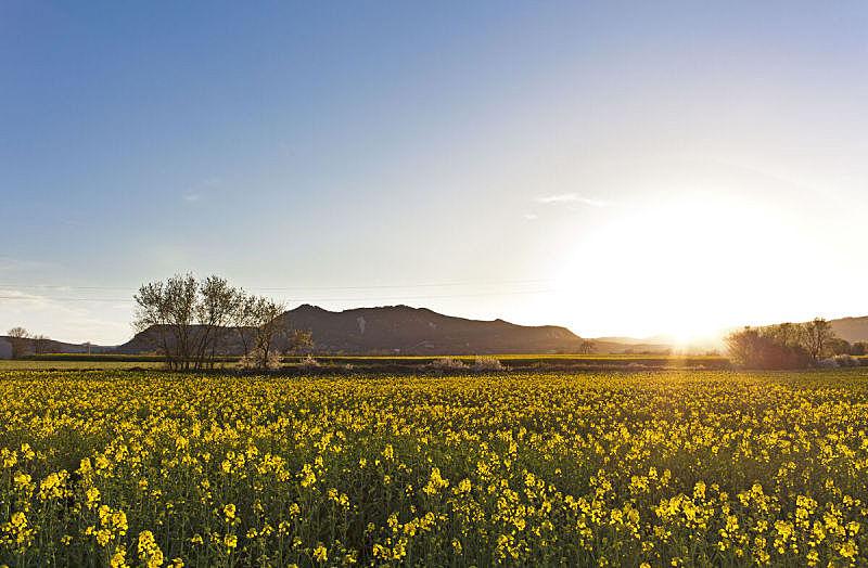 田地,黄色,地形,天空,美,水平画幅,无人,夏天,花,日落
