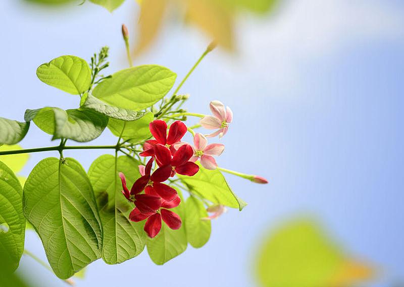 攀缘植物,仰光,水平画幅,形状,夏天,特写,花束,植物,枝,植物学