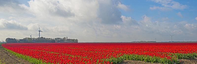 郁金香,田地,春天,花鳞茎,福力沃兰,天空,水平画幅,无人,户外,荷兰