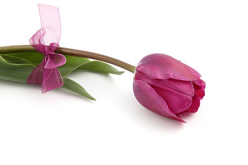 郁金香,蝴蝶结,水平画幅,无人,白色背景,背景分离,泉,仅一朵花,自然美,影棚拍摄