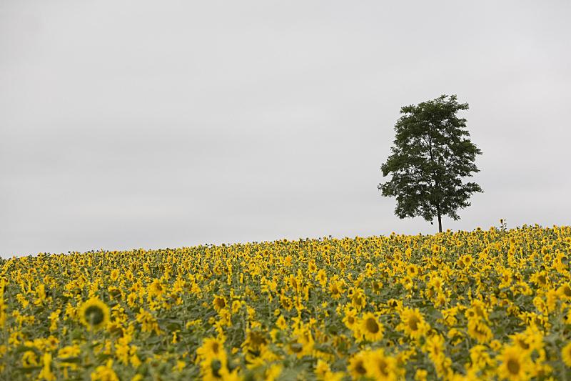农场,留白,水平画幅,无人,夏天,田地,植物,彩色图片,黄色,多云