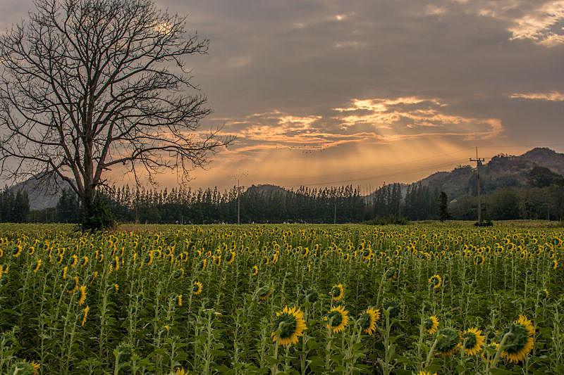 向日葵,天空,美,水平画幅,夏天,户外,明亮,农作物,田地,植物