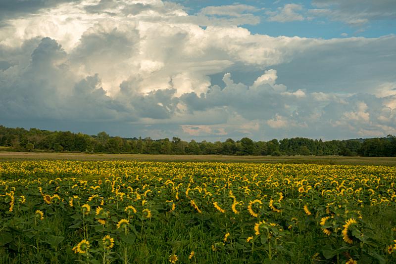 田地,向日葵,早晨,在下面,日光,美,水平画幅,无人,夏天,户外