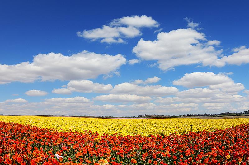 概念,以色列集体农场,田园旅游业,毛莨科,卷云,以色列,毛莨属植物,天空,美,风