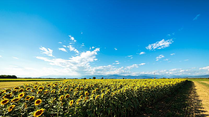 夏天,田地,向日葵,白昼,干草卷,天空,美,干草,水平画幅,山