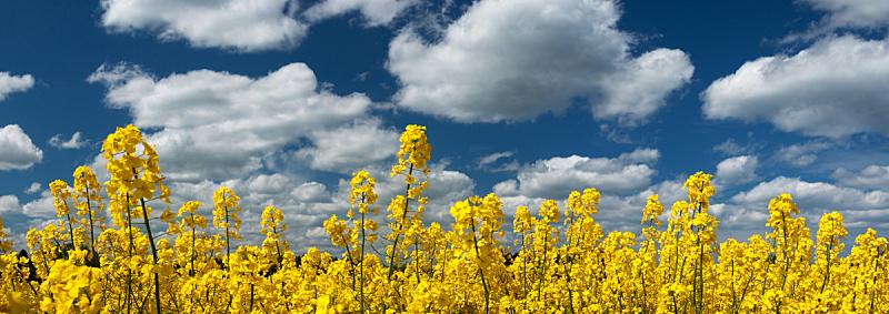 天空,全景,田地,油菜花,农业,环境,云,仅一朵花,草,自然美