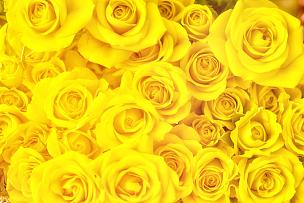 黄色,玫瑰,花束,满画幅,玫瑰花瓣,黄色背景,并排,留白,水平画幅,高视角
