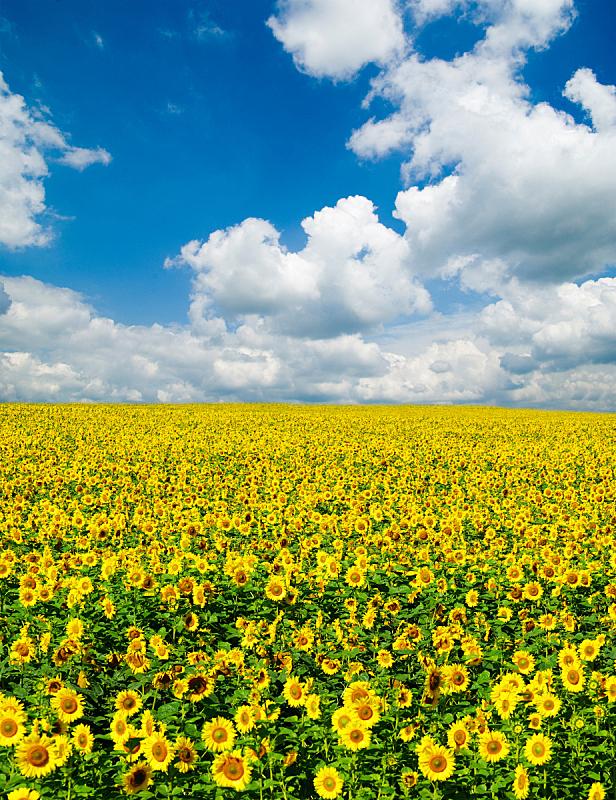 田地,向日葵,自然,垂直画幅,天空,草地,地形,无人,蓝色,乌克兰