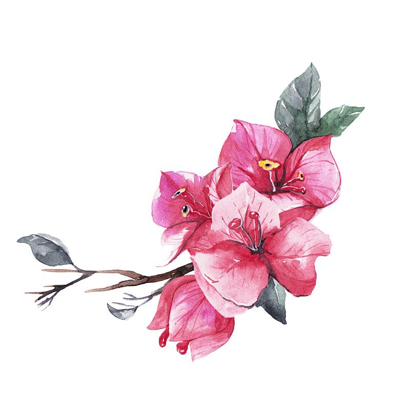 三角梅,美,艺术,绘画插图,艺术品,湿,夏天,画笔,泰国,花束