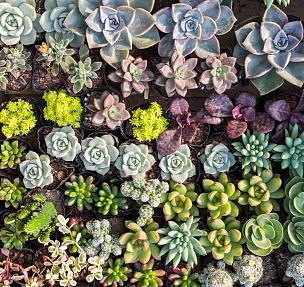 小的,多肉植物,水平画幅,枝繁叶茂,能源,无人,户外,景天属植物,植物,肉质植物