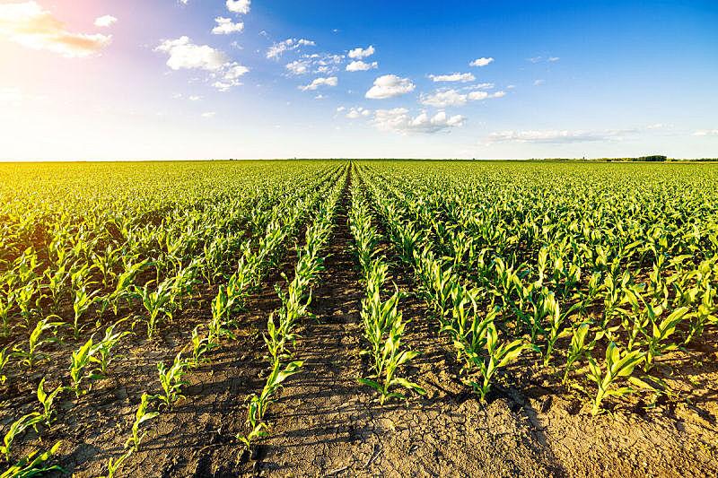 玉米,田地,绿色,早晨,舞台,自然,天空,水平画幅,地形,景观设计