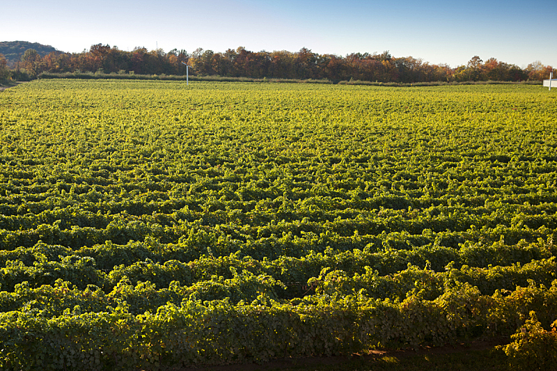 葡萄园,有蔓植物,葡萄,索那玛郡,那帕谷,葡萄酒厂,水平画幅,含酒精饮料,农作物,田地