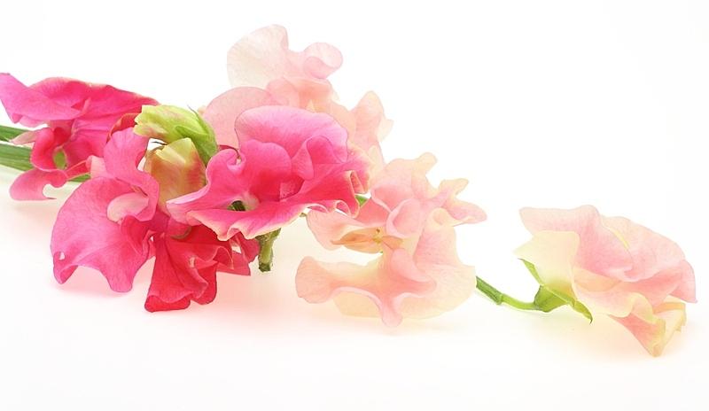 香豌豆,自然,水平画幅,无人,色彩鲜艳,白色背景,柔和色,背景分离,影棚拍摄,红色