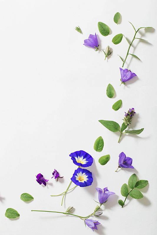 夏天,蓝色,白色背景,飞燕草,旋花植物,垂直画幅,贺卡,艺术,无人,花束