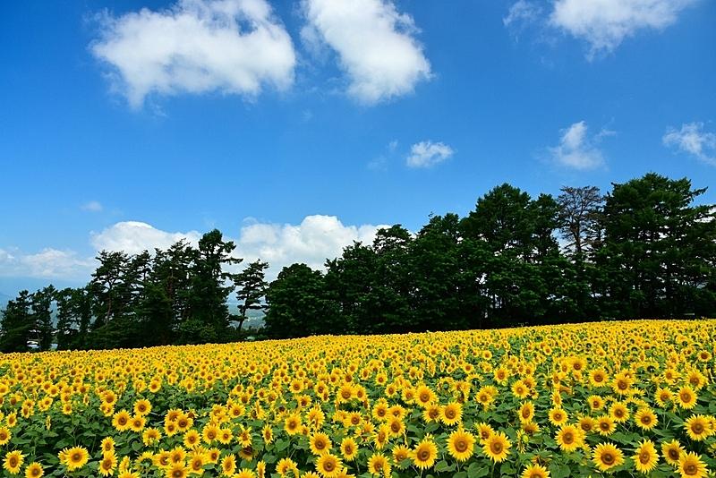 向日葵,美,水平画幅,枝繁叶茂,东亚,夏天,户外,植物,著名景点,风景