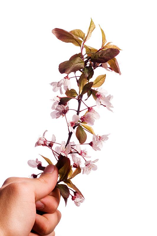 李树,手牵手,仅一朵花,垂直画幅,樱花,樱桃,夏天,特写,花蕾,植物
