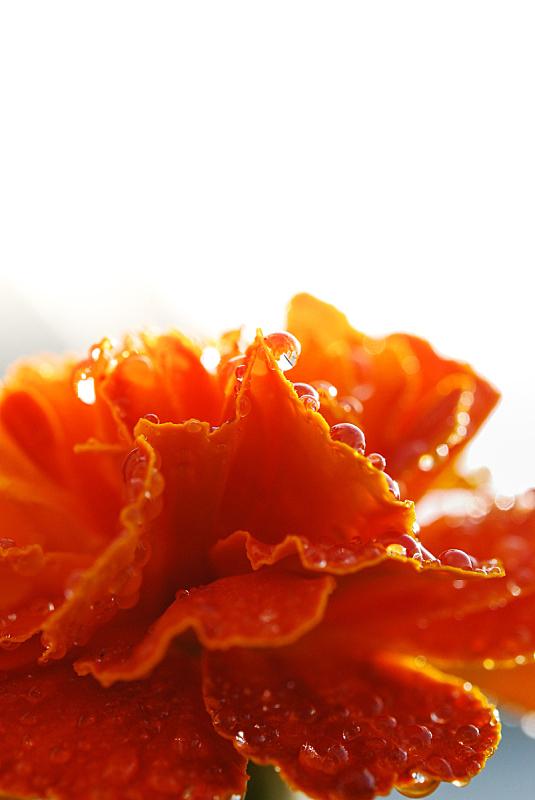 特写,万寿菊,里拉符号,垂直画幅,水,橙色,无人,仅一朵花,水滴,植物