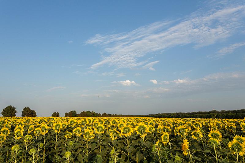 向日葵,田地,黄昏,天空,夏天,仅一朵花,明亮,想法,植物学,花粉