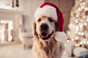 圣诞老人,狗,拉布拉多犬,快乐,美,圣诞帽,新的,寻回犬,水平画幅