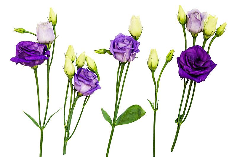 lisianthus,花蕾,紫色,美,留白,水平画幅,无人,夏天,组物体,明亮