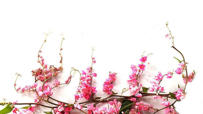 粉色,白色背景,白色,水平画幅,无人,鲜花盛开,泰国,背景,花,摄影