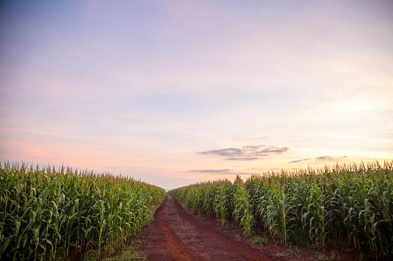 玉米,种植园,自然,天空,水平画幅,地形,无人,蓝色,有机食品,夏天