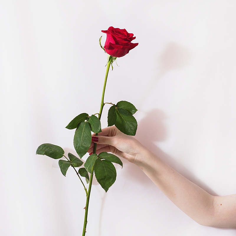 钉子,手,红色,留白,玫瑰,雌性动物,白色背景,自然美,设计,花